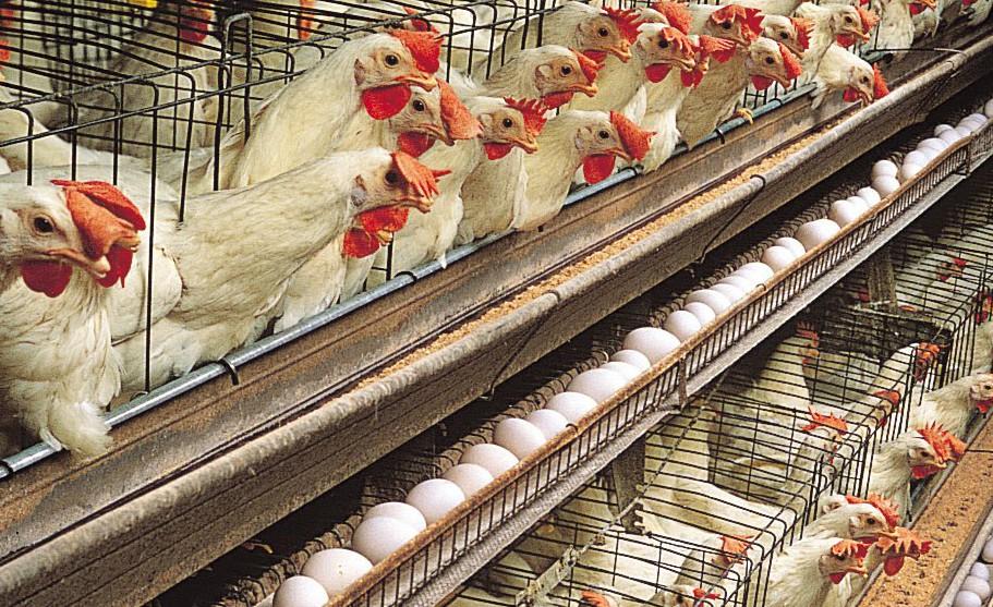 chicken-white-leghorn-hens
